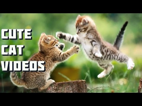 Maine Coon Cat Video - Small Kitten vs Big Maine Coon