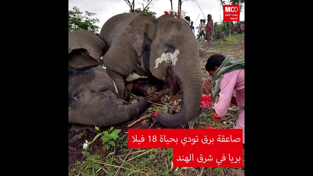 صاعقة برق تودي بحياة 18 فيلا بريا في شرق الهند  - نشر قبل 2 ساعة
