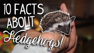 10 Facts About Hedgehogs!   Pet Hedgehog Care