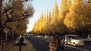 【メトロ銀座線】外苑前駅からイチョウ並木へ。  Ginkgo tree roadside trees