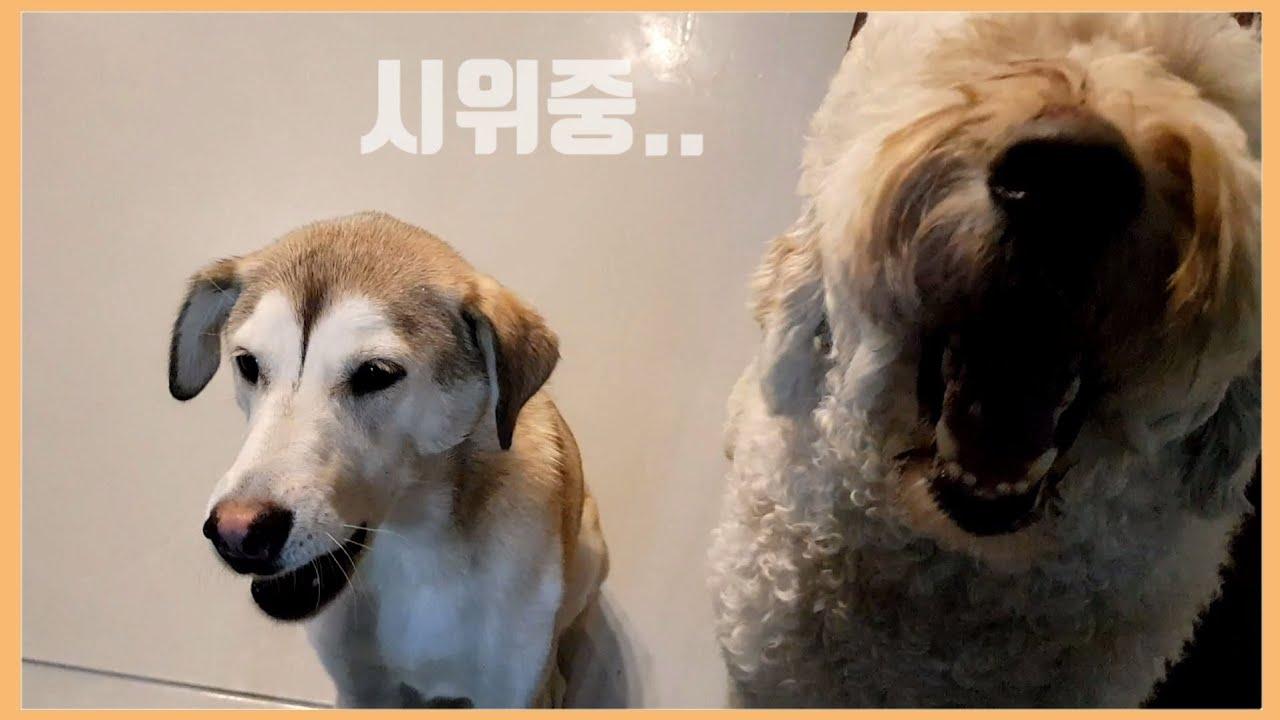 3일만에 엄마 만난 강아지(첫 호텔링😭) + 집에 와서 보인 이상행동의 이유는..