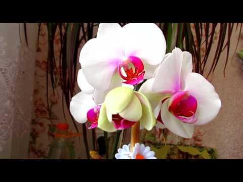 Орхидея – описание, виды, сорта, выращивание, уход, фото