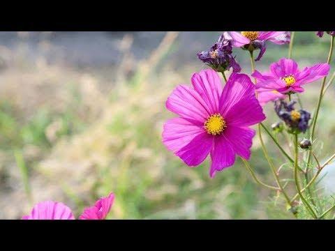 《野花 - Wild flowers》理查德·克莱德曼经典钢琴曲 唯美享受!