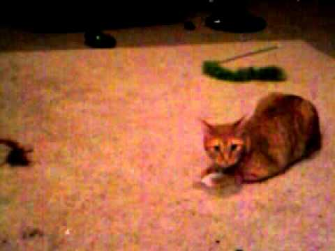 Peaches the Manx Cat playing with Toys Oct 28th 2010.mp4