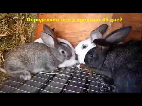 Как отличить крольчат по полу видео