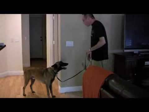 House Training Boundaries With A Belgian Malinois