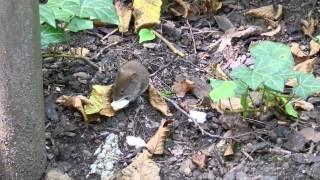 動物園内のベンチの近くにいた野生のネズミちゃん(多分ユーラシアハタ...
