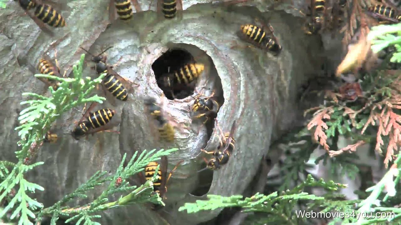 WASP NEST REMOVAL VIDEO - YouTube
