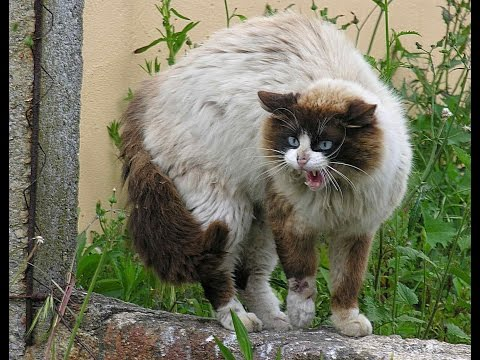 Top 10 most Aggressive/Dangerous Cat Breeds in the World -  Top Ten Stuffs