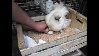Repeat youtube video Gallina Clueca 100_3435.AVI