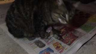 cat eats kitten (кошка ест котенка)