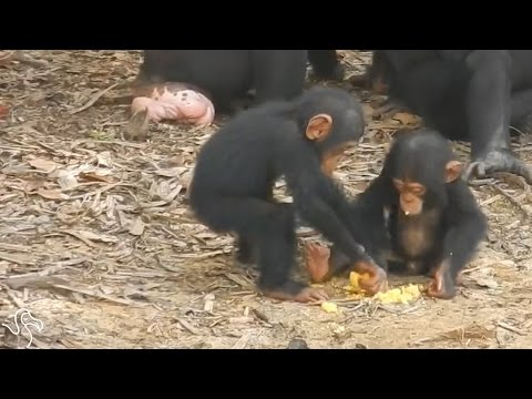 Chimps Refuse To Die After Being Abandoned On Island