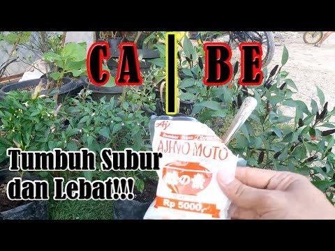 Tips Agar Tanaman Cabe Tumbuh Subur Dan Berbuah Lebat Dengan Pupuk Micin Ajinomoto