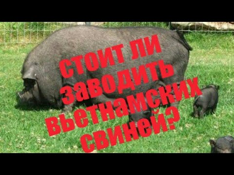 стоит ли покупать вьетнамских вислобрюхих свиней?