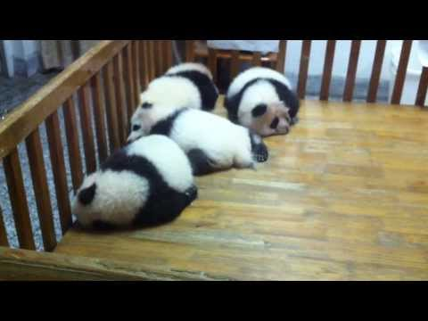 So cute Giant Panda Cubs sleeping at Panda Base, Chengdu, Sichuan, China