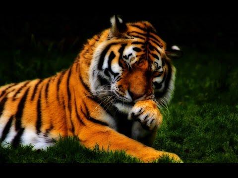 Топ 10 красивых фото тигров