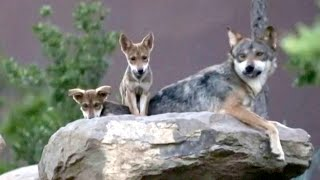Critically Endangered Mexican Wolf Has 8 New Pups