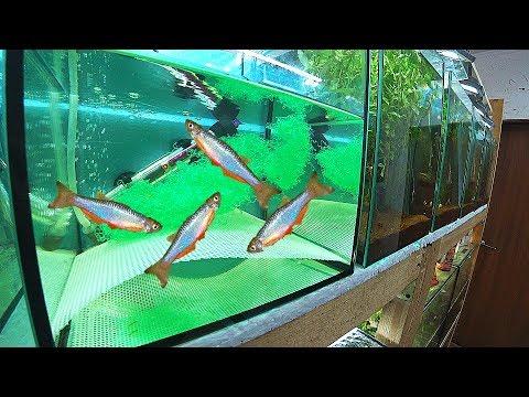 Данио жемчужный в нерестовике. Разведение рыбок