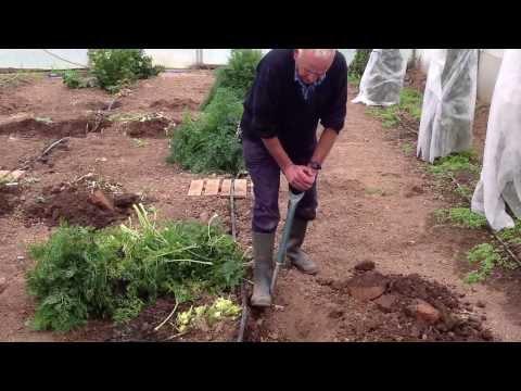 Giant Veg: Ian Neale lifting UK record giant Carrot