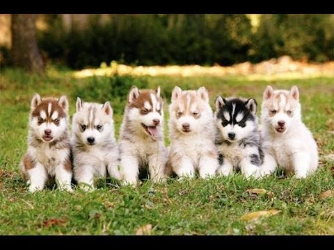 Siberian Husky Puppies Playingbarking And Sleeping Youtube