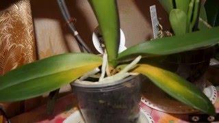 Почему у орхидеи желтеют листья(, 2016-05-15T18:47:18.000Z)