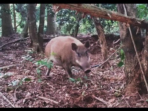 イノシシ 猪 有害駆除 くくり罠 捕獲 (Japanese Wild Boar) 2015 08 09