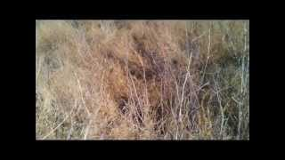Kansas Blitzkrieg On Quail 2012