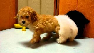 Toy Poodles And Maltese Puppies Playing 19breeders