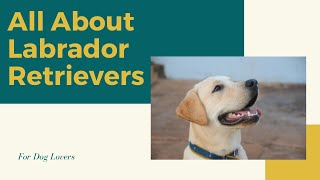 LABRADOR RETRIEVER  ALL About This Popular Breed