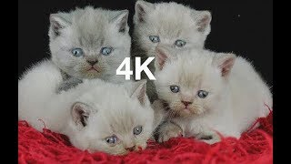 Kittens Development 100 Days - British Shorthair 126 MINS - 4K