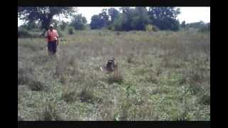 Field Spaniel Hunting Taxi, Ritz and Gibson