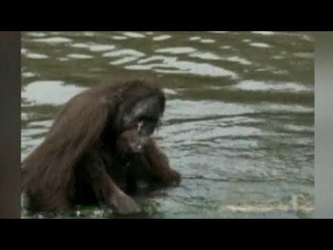 Naas, Orangutan Ini Mati dengan 130 Luka Tembakan