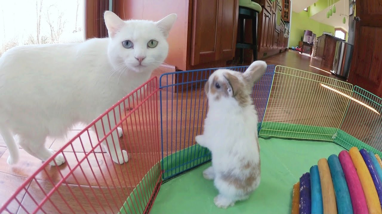 Cute White Kittens With Blue Eyes Wallpaper Bunny Update 4 1 2 Week Old Holland Lop Babies Youtube