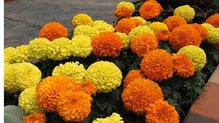 99_Marigold grow from cutting || गेंदा को कटिंग से उगाना