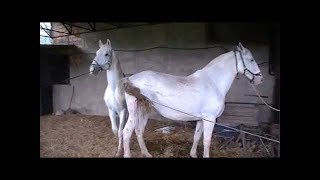 Black Stallion Popping U, Horse Mating - Horse Breeding Videos Compilation