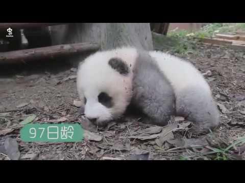 Panda cub Chengshi is growing up!
