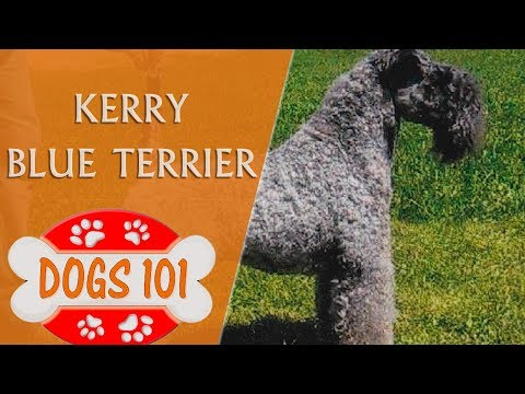 Dogs 101 - KERRY BLUE TERRIER - Top Dog Facts About the KERRY BLUE TERRIER