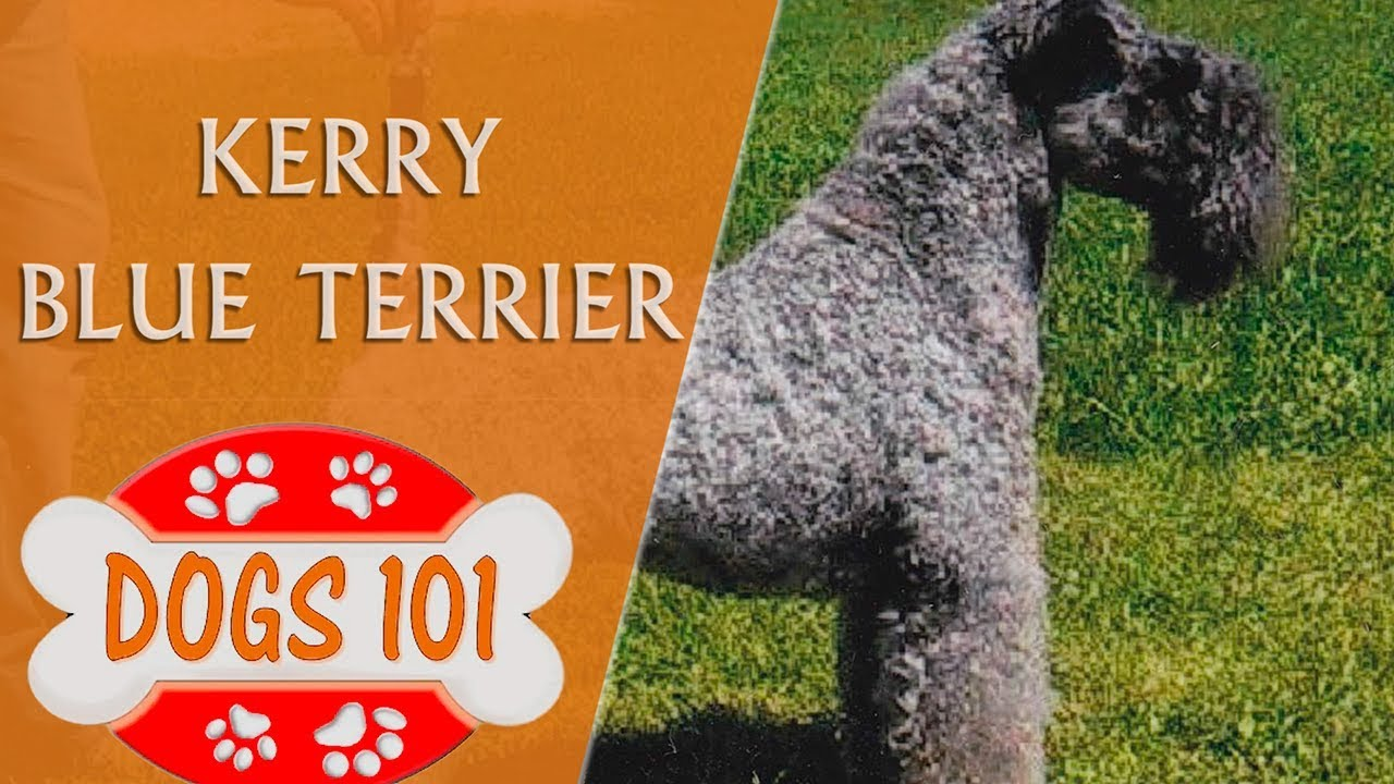 Dogs 101 Kerry Blue Terrier Top Dog
