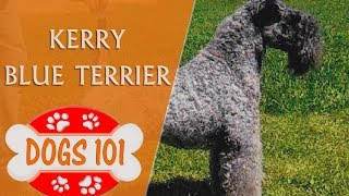 Dogs 101  KERRY BLUE TERRIER  Top Dog Facts About the KERRY BLUE TERRIER