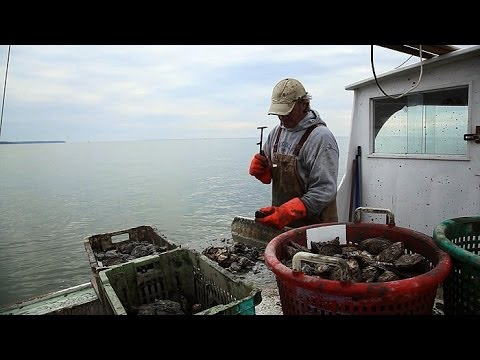 Chesapeake: Can Oysters Save the Bay?