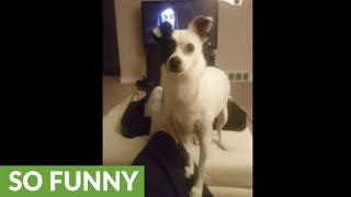Funny dog shows off high-pitched singing voice