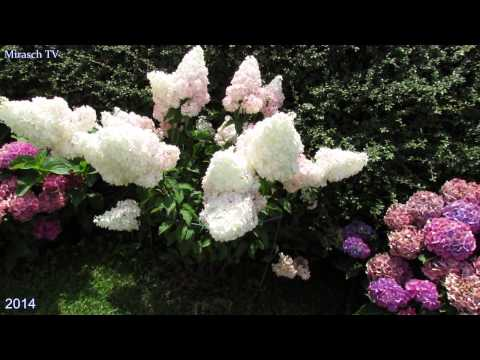 Красивые многолетние цветы в саду. Гортензия / Hortensie im Garten