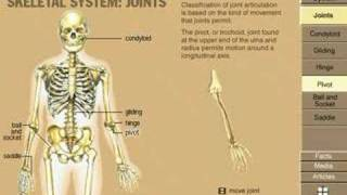 Skeletal System joint drawing