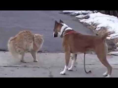 Бойцовская собака и кот