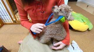 マッサージ棒を使ったら犬があまりの気持ちよさにうっとりして可愛いw【トイプードル】
