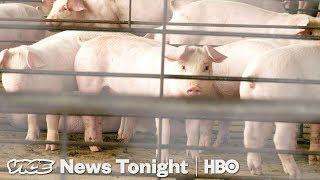 Why North Carolina Can't Solve Its Hog Poop Problem (HBO)