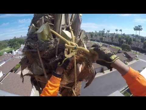 Tala De Palma Dactylifera,Removal palm tree .