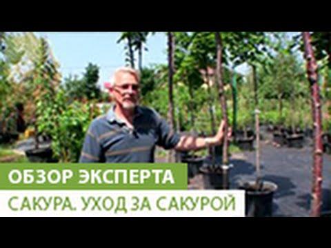 Как прорастить сакуру из семян