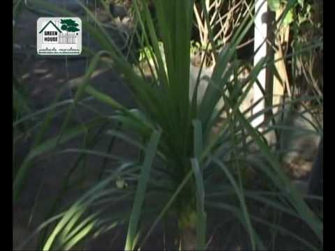 Plantas para interiores pata de elefante afelandra for Plantas decorativas para interiores