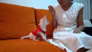 訓練幼犬(合掌拜拜,握手,坐下,趴下)3m old puppy training(pray,hand,sit)